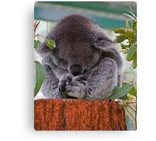 'Koala Sleeping'....... Canvas Print