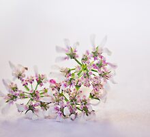 Cilantro flower by lightwanderer