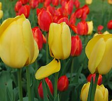 Yellow and Red Tulips by Kathleen Brant
