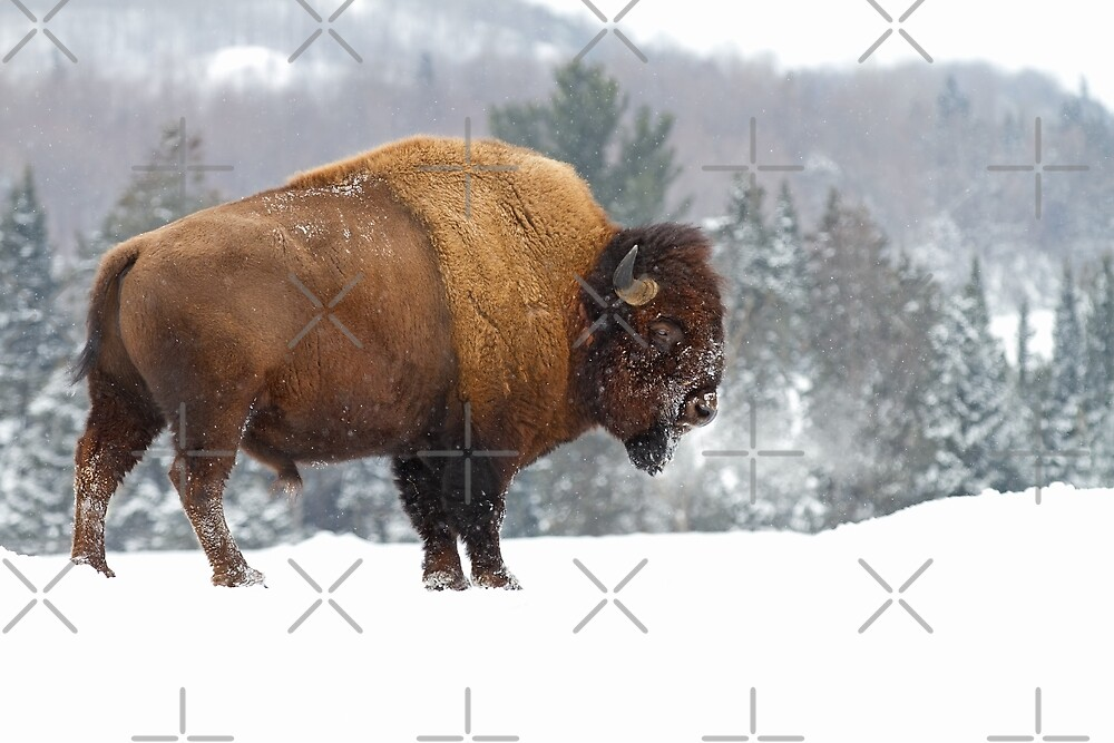 Buffalo in Winter by Jim Cumming