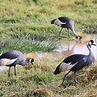 Grey Crowned Crane, Kenya by Carole-Anne