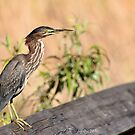 Green Heron ( Butorides virescens ) by Jeff Ore