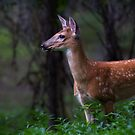 Portrait of a Fawn - White Tailed Deer by Jim Cumming