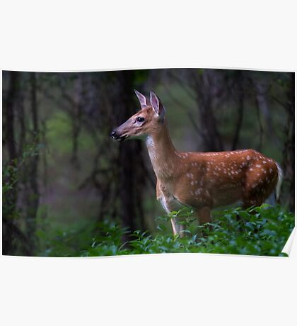 Portrait of a Fawn - White Tailed Deer Poster
