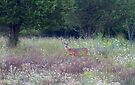 Buck in the Meadow - White tailed deer buck by Jim Cumming