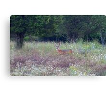 Buck in the Meadow - White tailed deer buck Canvas Print