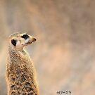 Meerkat (Suricata suricatta ) by Jeff Ore