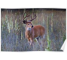 Early Morning White tailed Buck Poster