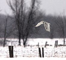 A snowy Snowy - Snowy Owl by Jim Cumming