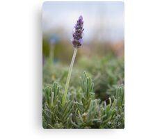 Beautiful lavender Canvas Print