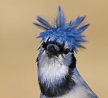 Is that you Don King? - Blue Jay by Jim Cumming