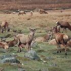 Red Deer Wild in Scotland by AnnDixon