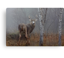 Buck - White-tailed deer Buck Canvas Print
