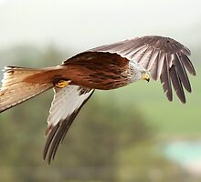 Red Kite in flight by Maria Gaellman
