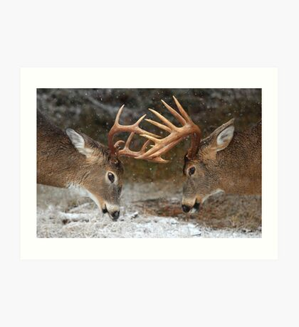 Clash of the Titans - White-tailed deer Art Print