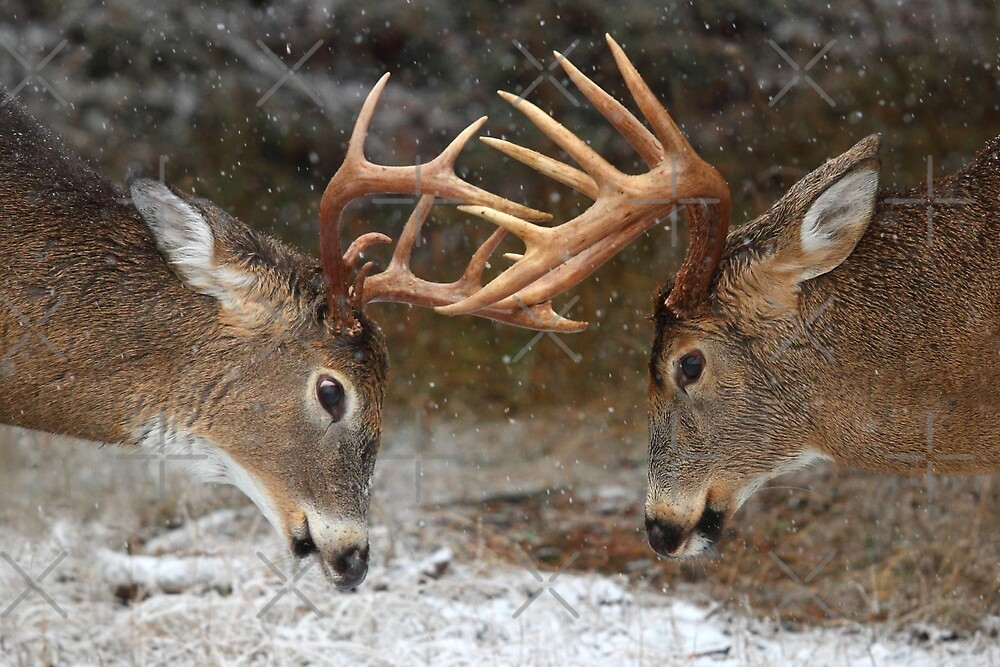 Clash of the Titans - White-tailed Bucks by Jim Cumming