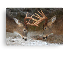 Clash of the Titans - White-tailed deer Bucks Canvas Print