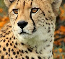 Ramses - Cheetah by ANWPhotography