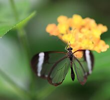 Glasswinged Butterfly on Yellow Flower by Maria Gaellman