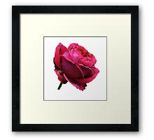 Red Rose. Framed Print