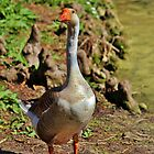 Graylag Goose by Cynthia48