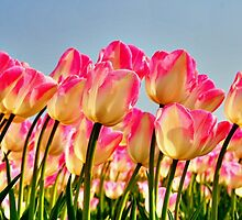 Pink Tulips Bow For The Sun by Jo Nijenhuis
