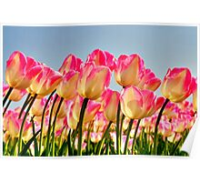 Pink Tulips Bow For The Sun Poster