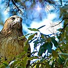 Red Tailed Hawk Up In the Tree by imagetj