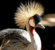 Royal Crowned Crane by imagetj