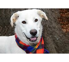 Bell Of The Ball  White Shepard Mix  Photographic Print