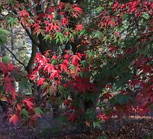 Red maple tree by Judi Lion