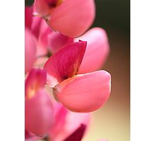 Lupine named Gallery Red Photographic Print