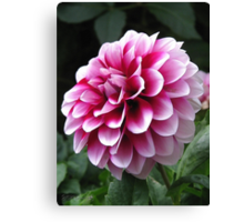 Dwarf Dahlia named Colima Canvas Print