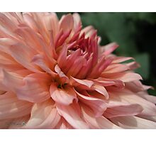 Dahlia named Preference Photographic Print