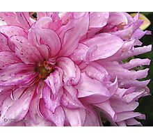 Dahlia named Annette C Photographic Print