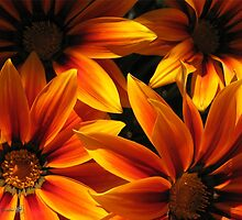 Gazania named Kiss Orange Flame by JMcCombie