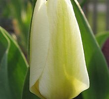 Tulip named Perles de Printemp by JMcCombie
