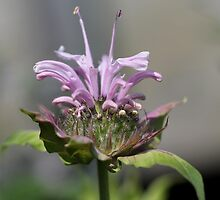 Bee Balm named Panorama Lavender by JMcCombie