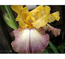 Tall Bearded Iris named Butterfingers Photographic Print