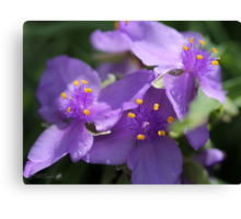 Tradescantia named Blue Stone Canvas Print