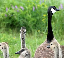 Canada Geese by JMcCombie