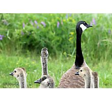 Canada Geese Photographic Print