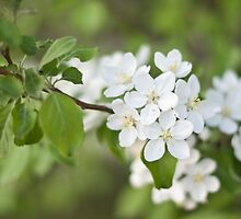 Apple Blossoms by Crystal Zacharias