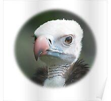 White-headed Vulture / Wollkopfgeier Poster