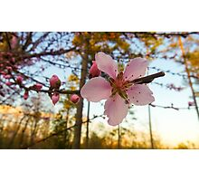 Peach Blossoms Photographic Print