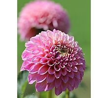 Dahlia named Skipley Spot of Gold Photographic Print