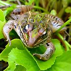 Leopard Frog by WildestArt