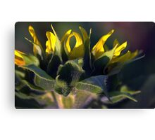 Sunflower Looking Down Canvas Print