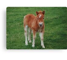 Cute Shetland Pony Canvas Print