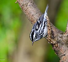 Black-and-White Warbler  by Nancy Barrett